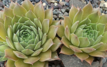 Sempervivum 'Unicorn'