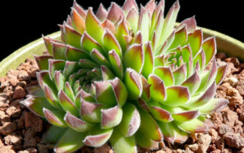 Sempervivum heuffelii (Job's Beard)