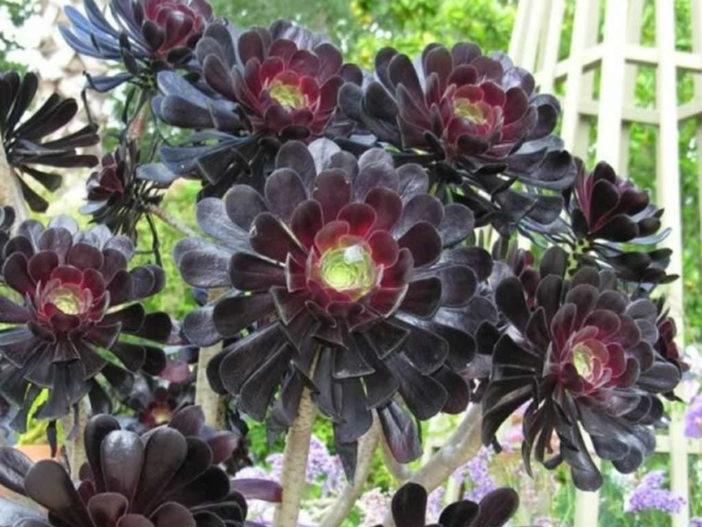 10 Stylish Succulents (Aeonium arboreum 'Zwartkop')