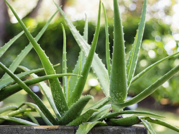 10 Stylish Succulents (Aloe vera)