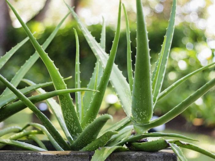 10 Stylish Succulents (Aloe vera)