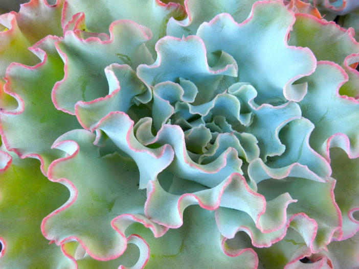 10 Stylish Succulents (Echeveria 'Lady Aquarius')