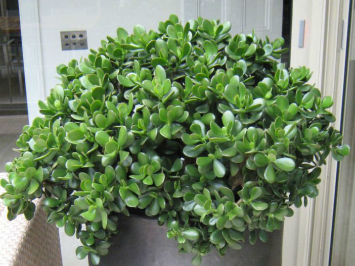 10 Stylish Succulents (Crassula ovata)