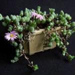 Braunsia maximiliani - Beads Lampranthus
