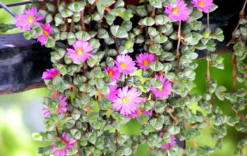 Braunsia maximiliani (Beads Lampranthus) aka Lampranthus maximiliani
