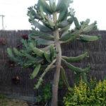 Consolea rubescens (Road Kill Cactus)