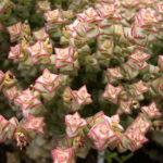 Crassula rupestris subsp. commutata - Rosary Vine