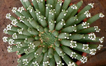 Euphorbia inermis - Green Crown, Medusa's Head