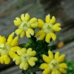 Euphorbia inermis var. huttonae