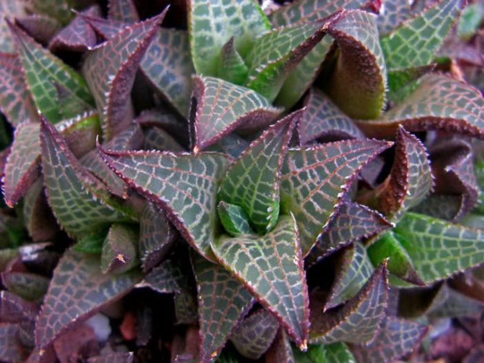 Haworthiopsis tessellata (Veined Haworthia) aka Haworthia tessellata or Haworthia venosa subsp. tessellata