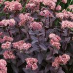 Hylotelephium telephium 'Purple Emperor' aka Sedum telephium 'Purple Emperor'