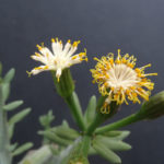 Kleinia anteuphorbium (Swizzle Sticks)