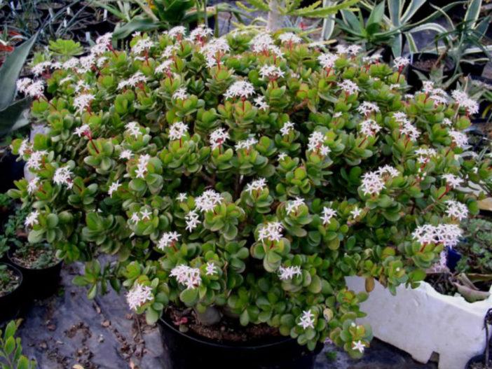 Low Temperature on Jade Plants