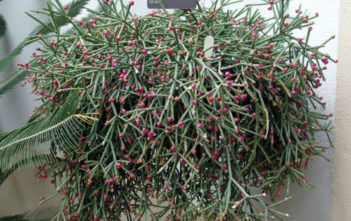 Rhipsalis neves-armondii