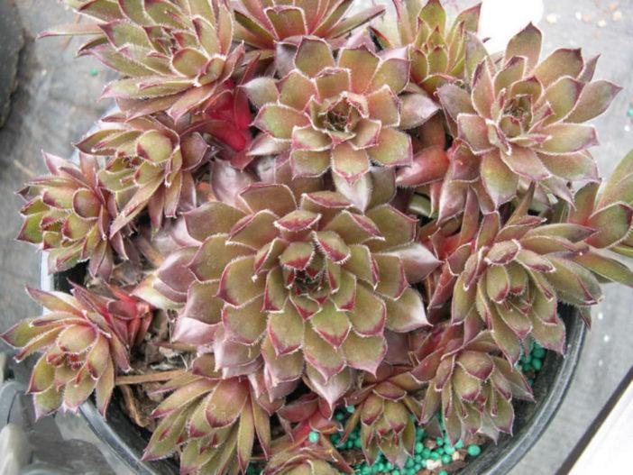 Sempervivum 'Sanford's Hybrid'