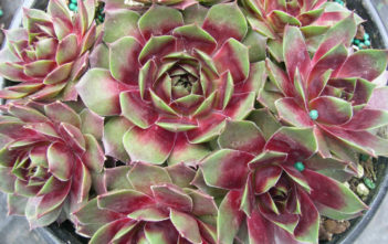 Sempervivum 'Westerlin'