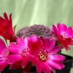 Sulcorebutia rauschii f. violacidermis