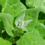Tetragonia tetragonioides (New Zealand Spinach)