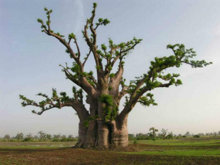 Adansonia digitata - Baobab
