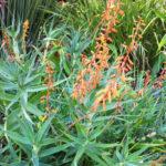 Aloe tenuior var. rubriflora - Fence Aloe