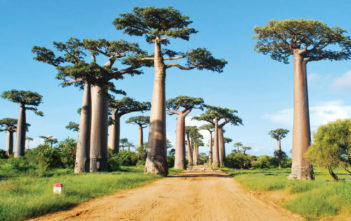 Baobab - The Largest Succulent Plant in the World