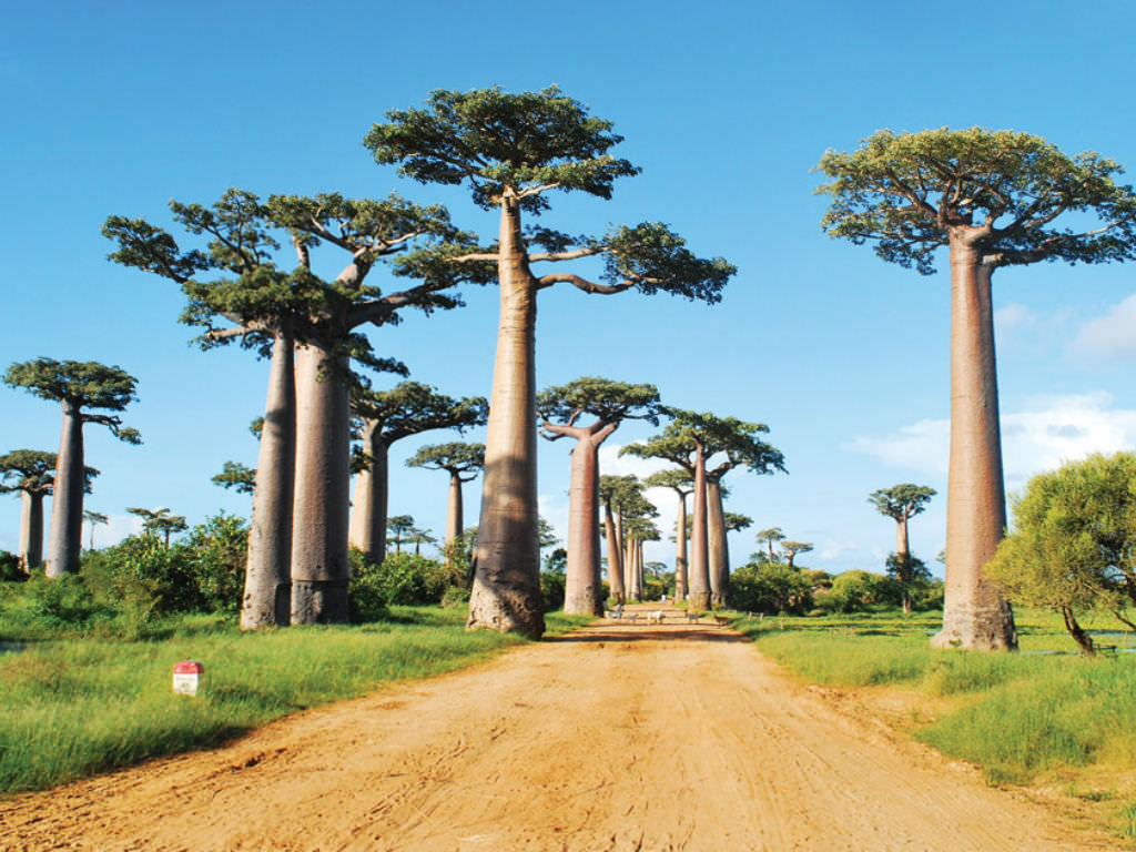baobab the largest succulent plant in the world world of succulents