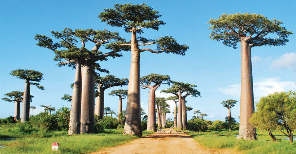 Baobab: The Largest Succulent Plant in the World | World ...