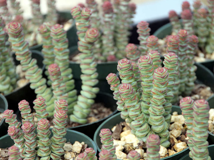 Crassula 'Baby's Necklace'
