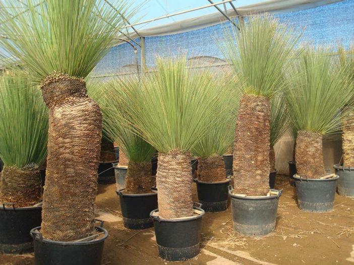 Dasylirion longissimum - Mexican Grass Tree