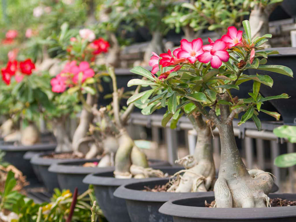The Life Cycle of a Desert Rose (Adenium obesum)