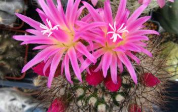 Eriosyce senilis subsp. coimassenis