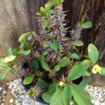 Euphorbia milii 'Primrose Yellow'