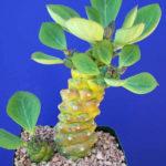 Euphorbia ritchiei 'Variegata'