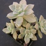 Graptopetalum paraguayense subsp. bernalense (Ghost Plant)