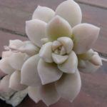 Graptopetalum pentandrum (Five Stamen Graptopetalum)