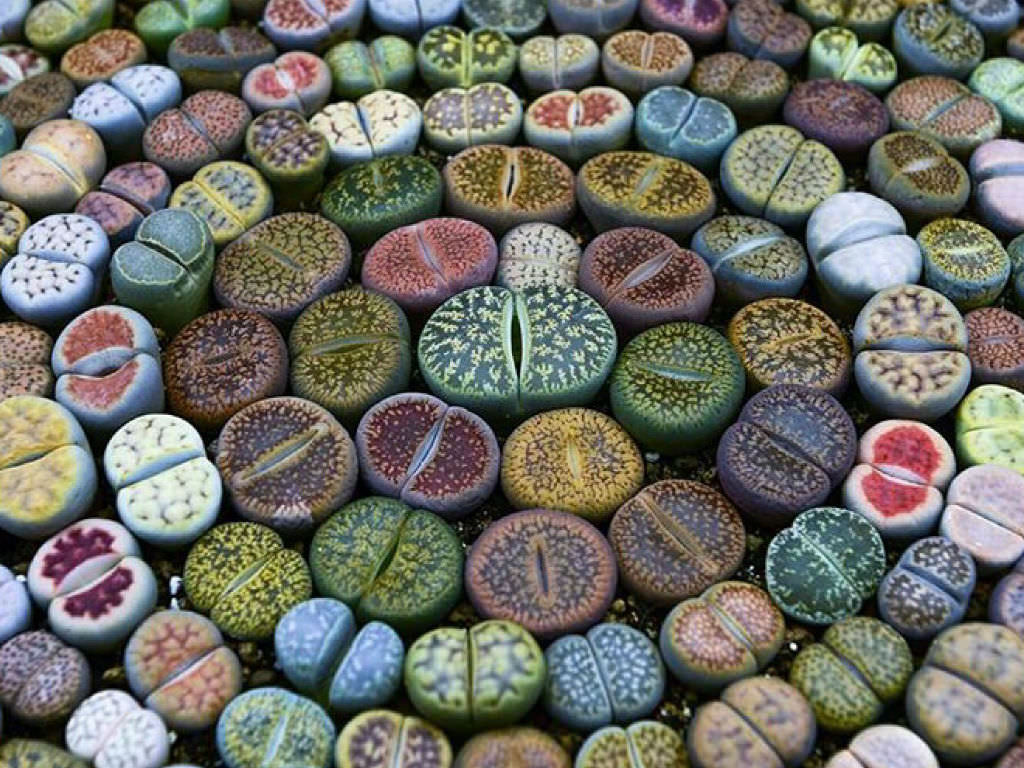 How To Grow Lithops From Seed World Of Succulents