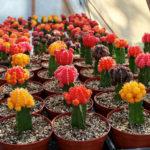 Gymnocalycium mihanovichii 'Hibotan'- Ruby Ball