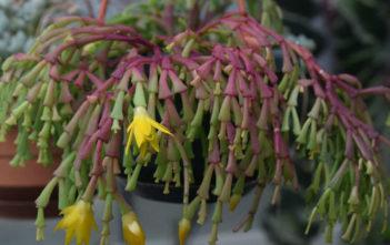 Hatiora epiphylloides subsp. bradei