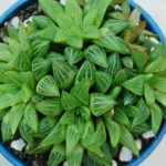 Haworthia mirabilis