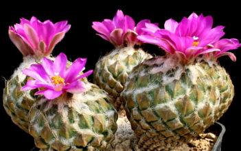 Pelecyphora strobiliformis - Pinecone Cactus