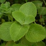 Plectranthus amboinicus - Cuban Oregano