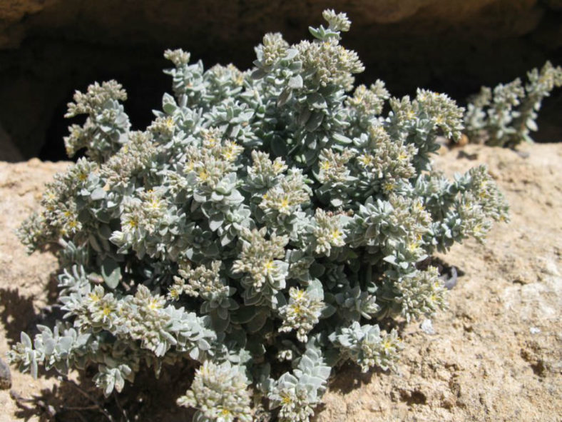Polycarpaea nivea - Common White Saladillo