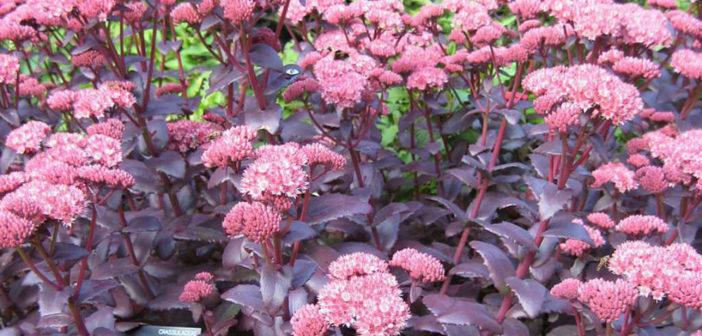 How to grow and care for sedum purple emperor world of succulents altavistaventures Images