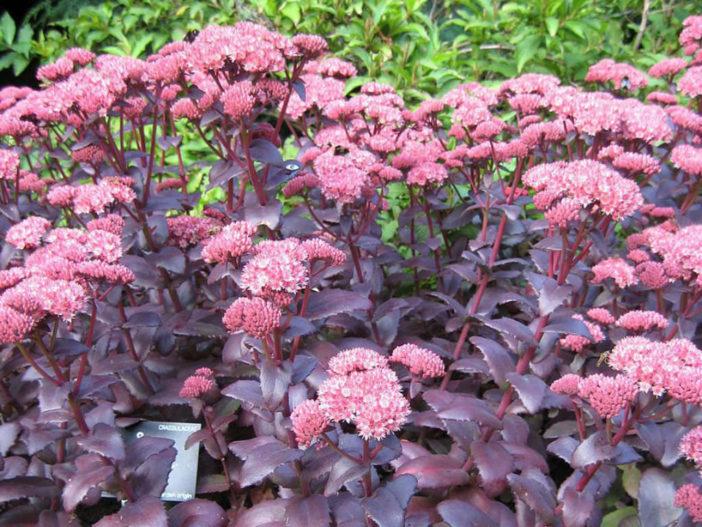 Grow and Care Hylotelephium telephium 'Purple Emperor'