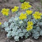 Sedum spathulifolium 'Cape Blanco' - Cape Blanco Stonecrop