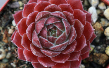 Sempervivum 'Dea'