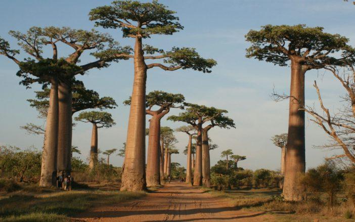 Adansonia grandidieri (Grandidier's Baobab)