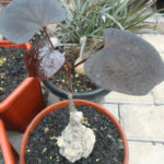 Adenia stylosa - Candlestick Plant