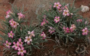 Adenium obesum subsp. oleifolium