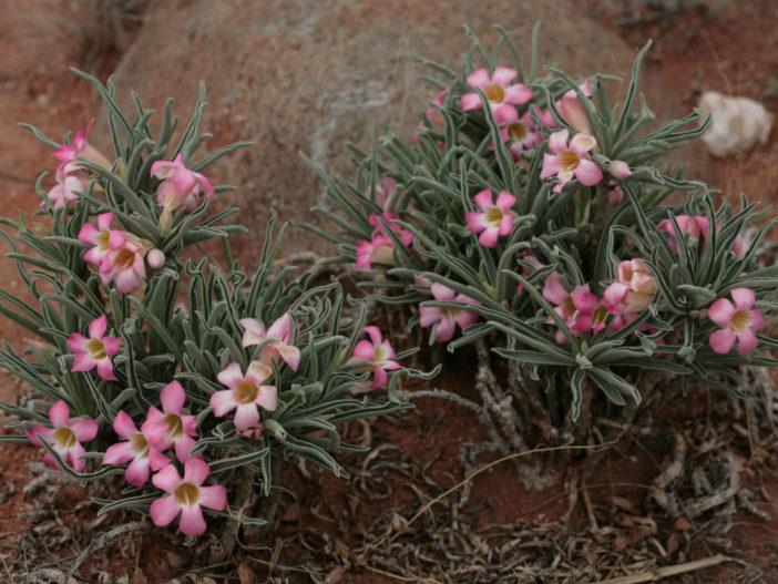 Adenium obesum subsp. oleifolium (Desert Rose)